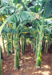 Horticulture Fruits Banana