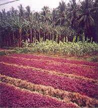 Horticulture :: Fruits :: Banana