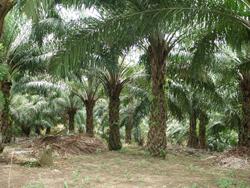 Horticulture Plantation Crops Oilpalm