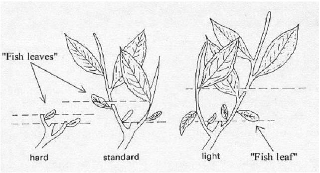 Horticulture Plantation Crops Tea