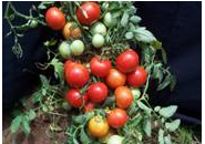 Horticulture :: Vegetables::Tomato