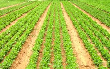 Weed free groundnut field