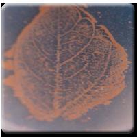 Methylobacterium drought