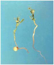 damaged seedling