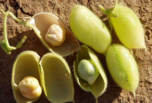 Seed :: Pulses ::Bengal gram