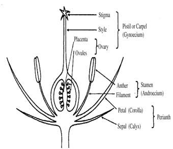 how to choose female papaya seeds