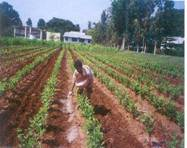 http://www.agritech.tnau.ac.in/sericulture/seri_mulberry%20cultivation_clip_image002_0009.jpg