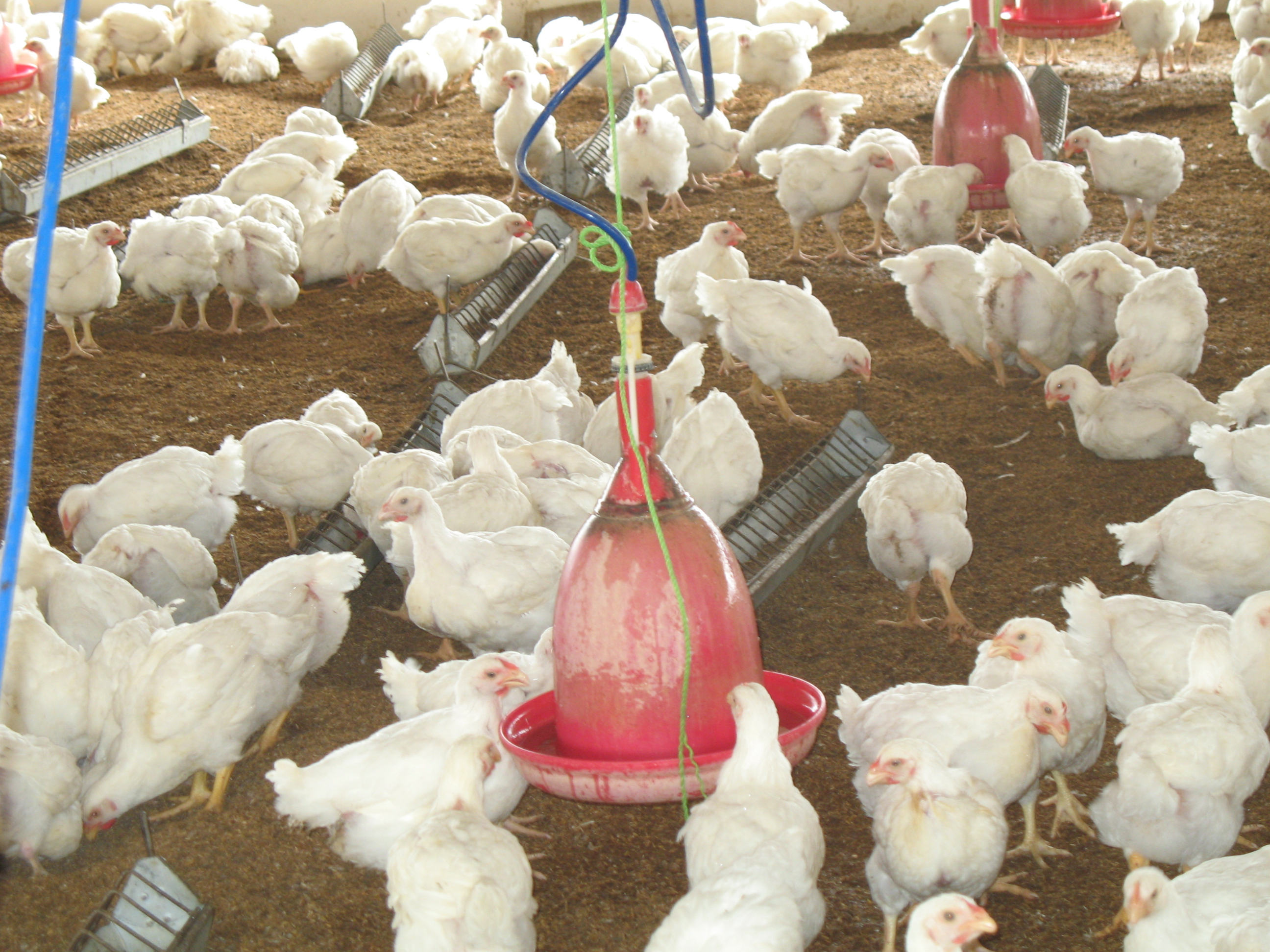 Poultry_Deep litter System
