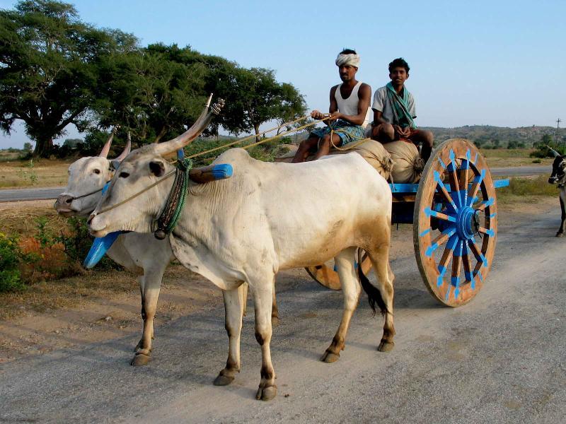 Cow Pulling Wagon : Livestock cattle breedanimal husbandry home