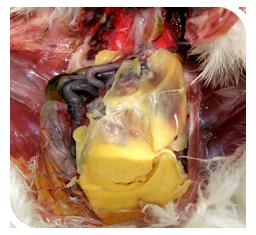 02 Egg peritonitis