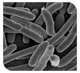 E.coli increases the severity of disease