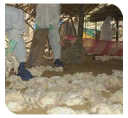 Heavy mortality in broilers
