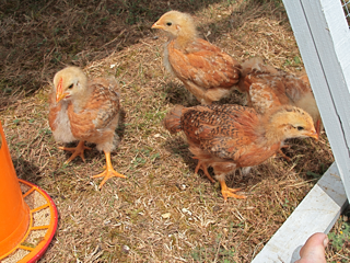 Under 6 weeks age of chicks are more susceptible