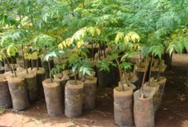 Ailanthus seelings