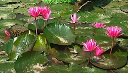 Horticulture landscaping types of garden for Types of pond design